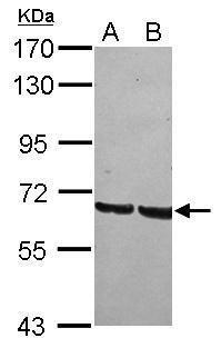 GRHL1 Antibody (PA5-31767)