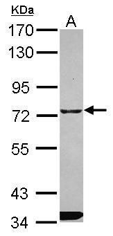 ITPRIPL1 Antibody (PA5-31770) in Western Blot