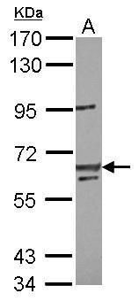 LIN54 Antibody (PA5-31777) in Western Blot
