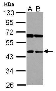 NEU4 Antibody (PA5-31783)