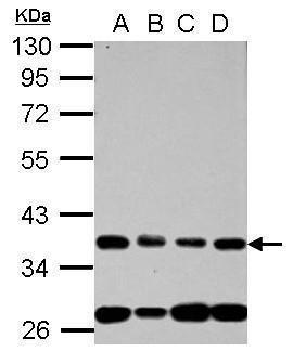 NUP35 Antibody (PA5-31787) in Western Blot