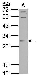 ORAI2 Antibody (PA5-31788) in Western Blot