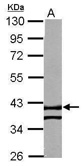 RTN4IP1 Antibody (PA5-31794) in Western Blot
