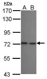 LZTR2 Antibody (PA5-31838)