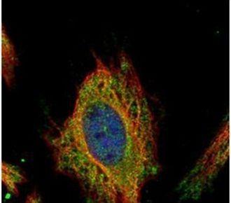 FEM1C Antibody (PA5-31869) in Immunofluorescence