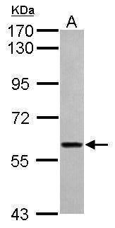 ITFG1 Antibody (PA5-31872) in Western Blot