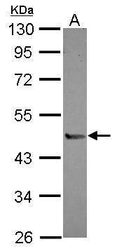 PI16 Antibody (PA5-31881)