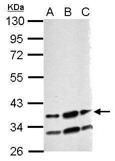 RBM4 Antibody (PA5-31887) in Western Blot