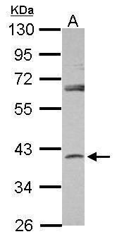 SERPINB7 Antibody (PA5-31891) in Western Blot