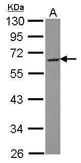 SMOC2 Antibody (PA5-31892)