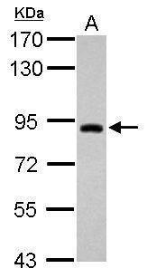 TRIM42 Antibody (PA5-31893)