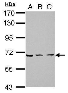 ZNF416 Antibody (PA5-31904)