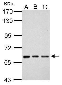 ZNF649 Antibody (PA5-31905) in Western Blot