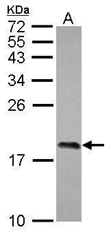 Di-Methyl-Histone H3 (Lys4) Antibody (PA5-31912) in Western Blot
