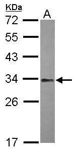 NFYB Antibody (PA5-31913) in Western Blot