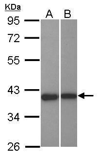 LRRC23 Antibody (PA5-31928)