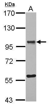 ORP9 Antibody (PA5-31930) in Western Blot