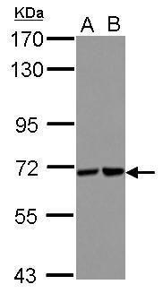 STS1 Antibody (PA5-31937)