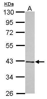 WIPI2 Antibody (PA5-31944) in Western Blot