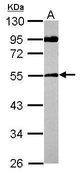 SPAG8 Antibody (PA5-31948)