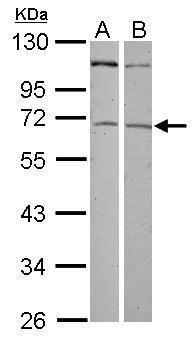 ZNF503 Antibody (PA5-31953) in Western Blot