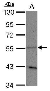 PLD3 Antibody (PA5-31959)