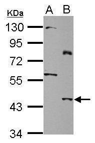 SLC25A46 Antibody (PA5-31960) in Western Blot