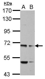 MYO19 Antibody (PA5-31992) in Western Blot