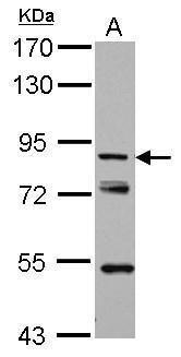 KBTBD3 Antibody (PA5-31998) in Western Blot