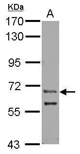 ZFY Antibody (PA5-32002)