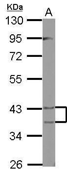 PECI Antibody (PA5-32008) in Western Blot