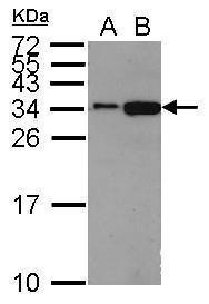 Histone H1.2 Antibody (PA5-32009) in Western Blot