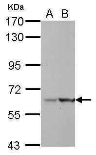 LRWD1 Antibody (PA5-32010)