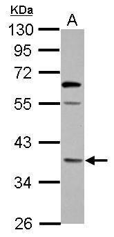 OXNAD1 Antibody (PA5-32011)