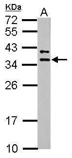 MRPL15 Antibody (PA5-32012)