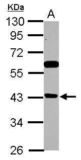 BRMS1L Antibody (PA5-32016) in Western Blot