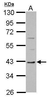 TMEM59L Antibody (PA5-32023) in Western Blot