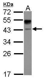 ASGR1 Antibody (PA5-32030) in Western Blot
