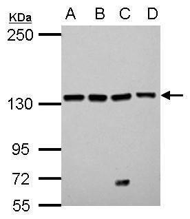 LARS Antibody (PA5-32042)