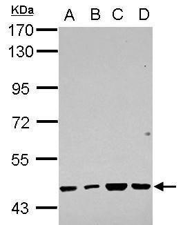 RBMY1F Antibody (PA5-32067) in Western Blot