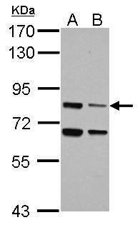 LSG1 Antibody (PA5-32097) in Western Blot