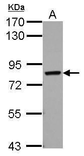 RED Antibody (PA5-32098) in Western Blot
