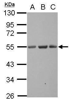 SYT13 Antibody (PA5-32101) in Western Blot