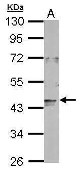 LONP2 Antibody (PA5-32103)