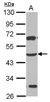 ZSCAN4 Antibody (PA5-32106)