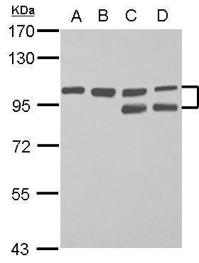 FAM115C Antibody (PA5-32110)