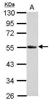 Slap Antibody (PA5-32121) in Western Blot