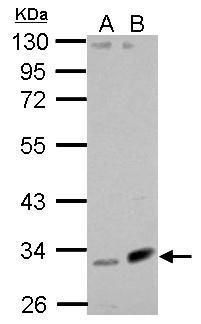 Fibulin 7 Antibody (PA5-32125) in Western Blot