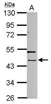 PHAX Antibody (PA5-32138) in Western Blot