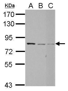 RED Antibody (PA5-32151) in Western Blot